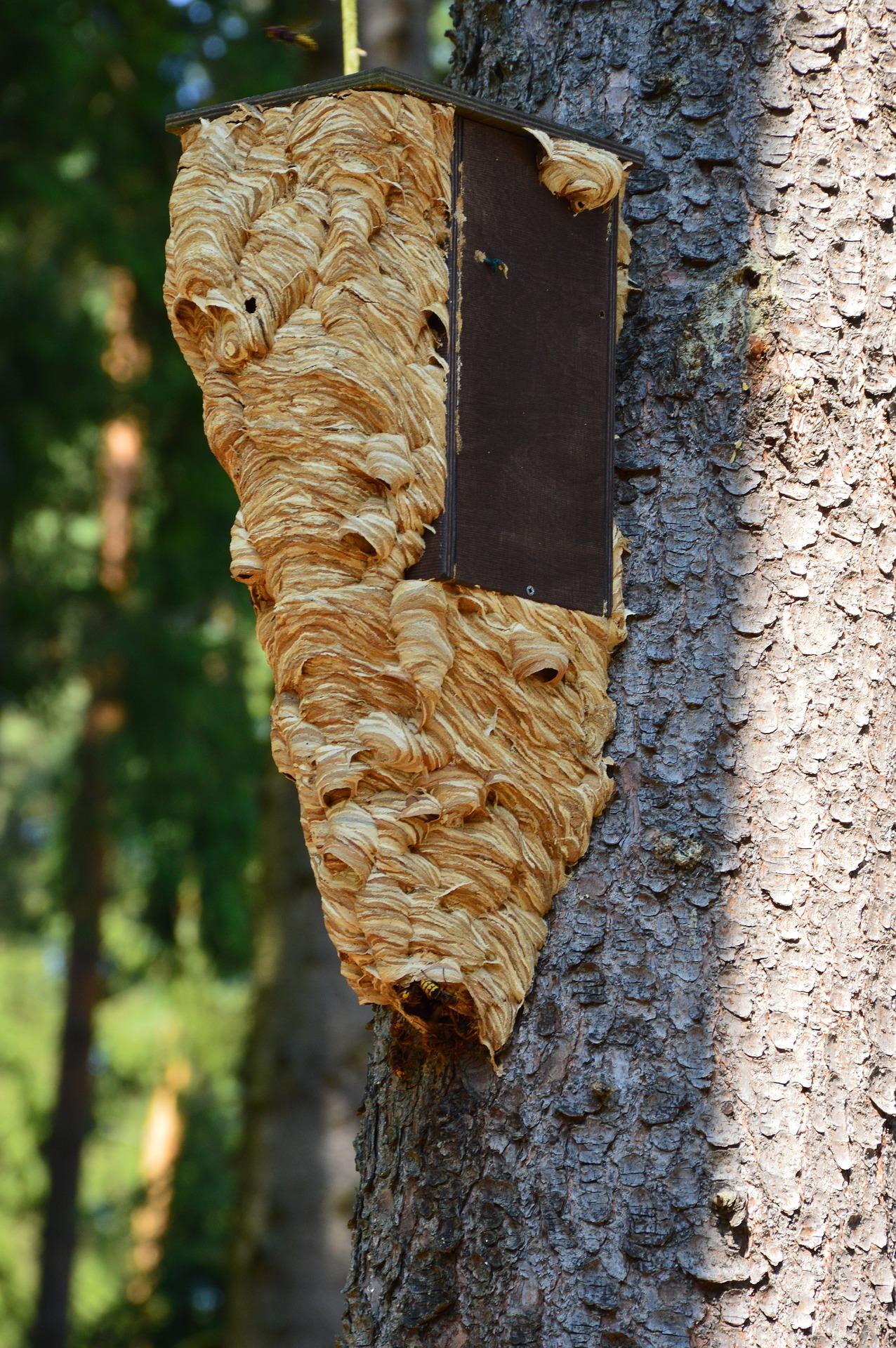 eradication nid de frelon asiatique etrechy 91580